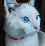 Gatto przeciwu occhi azzurri zdjęcia royalty free
