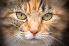 Gatto purulento Fotografie Stock