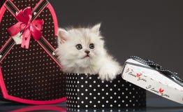 Gatto purulento persiano Fotografie Stock Libere da Diritti