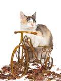 Gatto raro di Skookum sulla mini bicicletta Immagini Stock Libere da Diritti