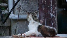 Gatto rilassato nel cortile della casa che graffia pelliccia e allontanarsi annoiato stock footage
