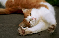 Gatto rosso immagini stock