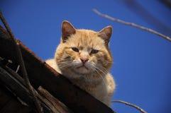 Gatto rosso Immagine Stock