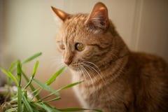 Gatto rosso Fotografie Stock Libere da Diritti