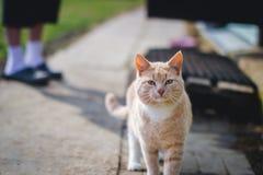 Gatto rosso Fotografia Stock Libera da Diritti