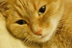 Gatto rosso fotografie stock