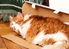 Gatto rosso adulto in scatola Fotografia Stock