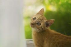 Gatto rosso alla finestra Fotografia Stock