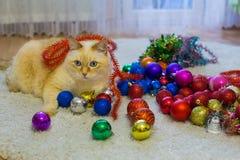 Gatto rosso bianco enorme con gli occhi azzurri e le bugie lunghe dei peli su tappeto in appartamento accanto ai giocattoli ed al fotografia stock
