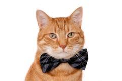 Gatto rosso che indossa un farfallino fotografia stock