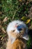Gatto rosso che osserva in su Immagine Stock Libera da Diritti