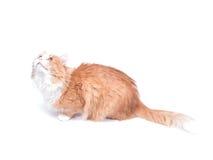 Gatto rosso che osserva in su Fotografia Stock