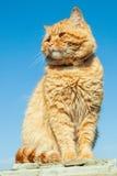 Gatto rosso che si siede sui precedenti del cielo blu Immagini Stock