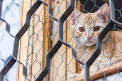 Gatto rosso che si siede sulla finestra e sugli sguardi fuori con la griglia Fotografia Stock Libera da Diritti
