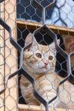 Gatto rosso che si siede sulla finestra e sugli sguardi fuori con la griglia Immagine Stock