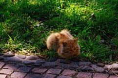 Gatto rosso-chiaro su erba verde Immagini Stock Libere da Diritti
