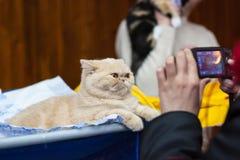 Gatto rosso con i grandi occhi che posano per la macchina fotografica Fotografie Stock