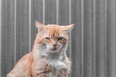 Gatto rosso con un occhio ferito Fine in su Copi lo spazio fotografia stock