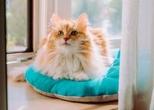 Gatto rosso dalla finestra in sole Fotografie Stock Libere da Diritti
