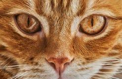 Gatto rosso dei peli che esamina la macchina fotografica, piano frontale, primo piano fotografia stock