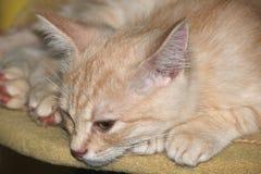 Gatto rosso, gatto della pesca, gattino sveglio fotografia stock libera da diritti