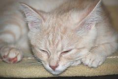 Gatto rosso, gatto della pesca, gattino sveglio fotografie stock