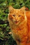 Gatto rosso di sbadiglio sul prato inglese verde fotografia stock libera da diritti