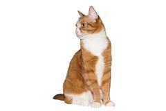 Gatto rosso domestico Fotografia Stock Libera da Diritti