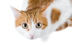 Gatto rosso e bianco sveglio Fotografie Stock Libere da Diritti