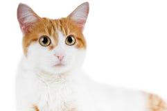Gatto rosso e bianco sveglio isolato Fotografia Stock Libera da Diritti