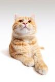 Gatto rosso isolato su fondo bianco Fotografie Stock
