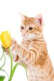 Gatto rosso isolato su un bianco Fotografia Stock Libera da Diritti