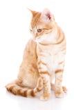 Gatto rosso isolato su un bianco Fotografie Stock