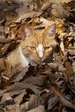 Gatto rosso nel fogliame Immagine Stock