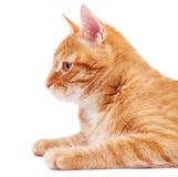 Gatto rosso nel profilo Immagine Stock