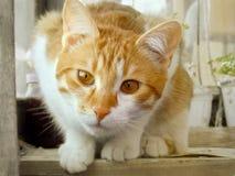 Gatto rosso rustico di curiosità, fronte del gatto Immagine Stock