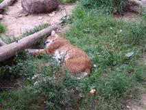 Gatto rosso selvaggio che riposa un giorno di estate immagini stock libere da diritti