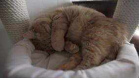 Gatto rosso sonnolento video d archivio