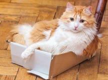 Gatto rosso sorpreso in scatola Fotografia Stock