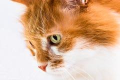 Gatto rosso su bianco Fotografie Stock Libere da Diritti