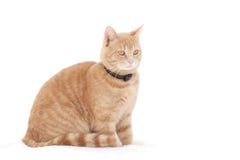 Gatto rosso su neve Immagine Stock