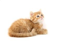 Gatto rosso su una priorità bassa bianca Fotografie Stock