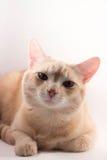Gatto rosso su una priorità bassa bianca fotografia stock