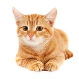 Gatto rosso sveglio Fotografia Stock