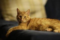 Gatto rosso sveglio Fotografie Stock
