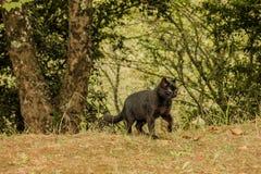 Gatto rurale Foresta tropicale nelle montagne sull'isola del Madera Fotografia Stock Libera da Diritti