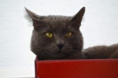 Gatto in scatola Fotografie Stock Libere da Diritti