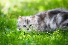 Gatto sciocco lanuginoso grigio del fronte che cerca nell'erba che insegue giocattolo immagini stock libere da diritti