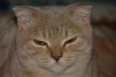 Gatto scozzese Fotografia Stock