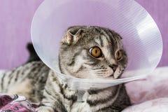 Gatto scozzese malato in un collare protettivo di plastica immagine stock